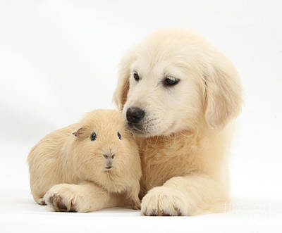 House Pet Photograph - Golden Retriever Pup And Yellow Guinea by Mark Taylor