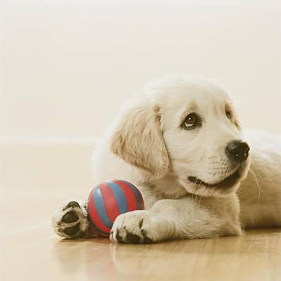 Photograph - Golden Retriever Puppy Holding Ball, Sitting On Floor, Close-up by GK Hart/Vikki Hart
