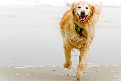 Golden Retriever Running On Beach Art Print by Stephen O'Byrne