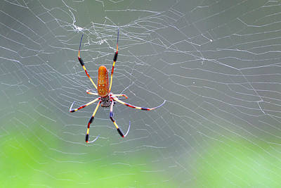Photograph - Golden Silk Orb Weaver Spider by Alan Lenk