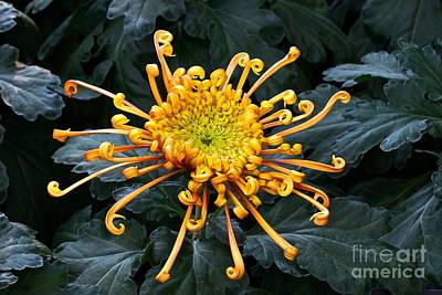 Photograph - Golden Spider Mum by Byron Varvarigos