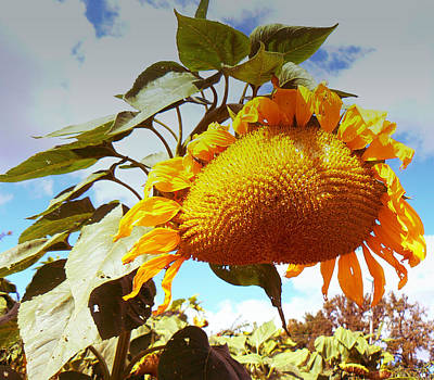 Photograph - Golden Sunflower by Connie Dye