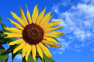 Nature Photograph - Golden Sunflower by Shane Bechler