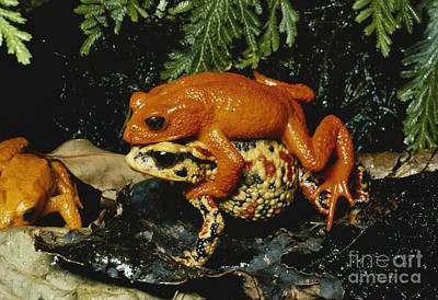 Bufonidae Photograph - Golden Toads Mating by Gregory G. Dimijian, M.D.