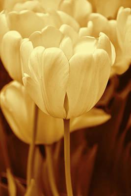Photograph - Golden Tulip Flowers In The Garden by Jennie Marie Schell