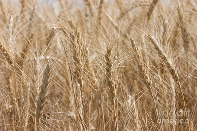 Photograph - Golden Wheat by Cindy Singleton