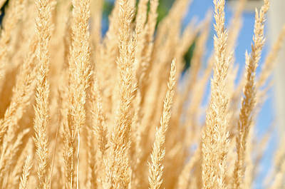Photograph - Golden Wheatfield by Margaret Pitcher