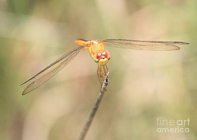 Golden-winged Dragonfly Art Print