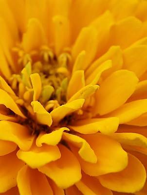 Zinna Photograph - Golden Yellow Burst by Bruce Bley