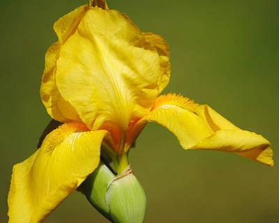 Photograph - Golden Yellow Iris by Jai Johnson