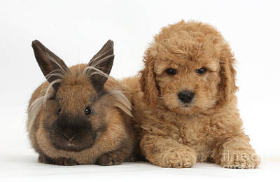 Golden Doodle Photograph - Goldendoodle Puppy And Rabbit by Mark Taylor