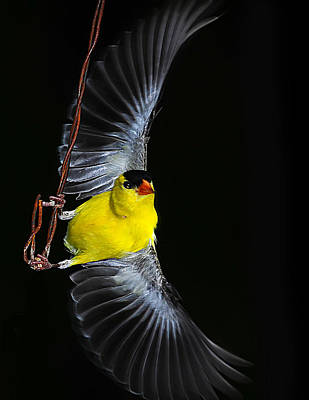 Art Print featuring the photograph Goldfinch High Wire Act by Randall Branham