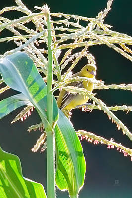 Photograph - Goldfinch In The Corn 3 by Steven Llorca