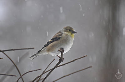 Photograph - Goldfinch In The Snow by Healing Woman