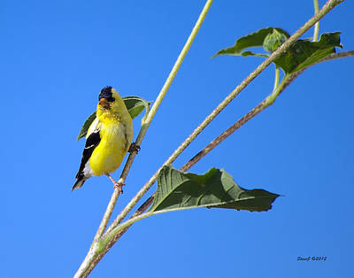 Goldfinch On Sunflowers Art Print by Stephen  Johnson