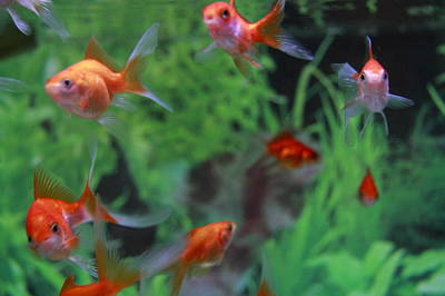 Goldfish Photograph - Goldfish by Kakki**