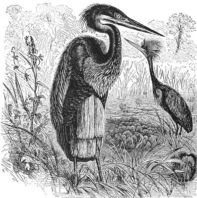 Goliath Heron Art Print by Granger