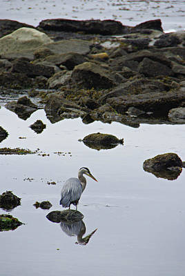 Photograph - Heron At Botanical Beach by Marilyn Wilson