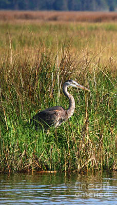 Good Morning - Blue Heron Art Print