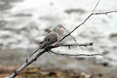 Art Print featuring the photograph Good Morning Dove by Elizabeth Winter