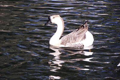 Photograph - Goose And Lake by Jayne Kerr