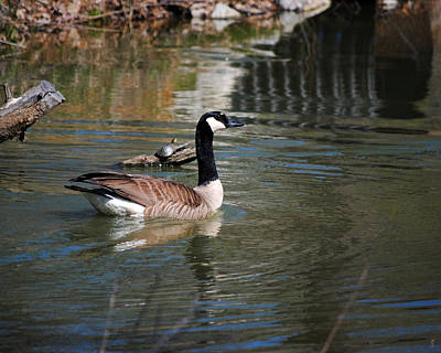 Photograph - Goose And The Turtle by Jai Johnson