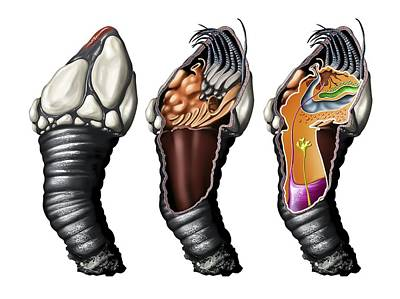Goose Barnacle Anatomy, Artwork Art Print by Jose Antonio PeÑas