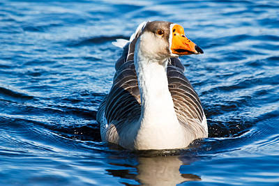 Photograph - Goose Coming Into Shore  by Ann Murphy