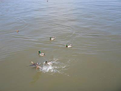 Photograph - Goose In Hudson River by Viola El