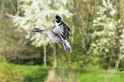 Animal Photograph - Goose In Springtime by Andrew  Michael