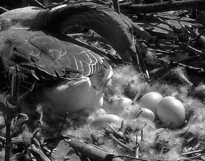 Photograph - Eggs - Goose by Val Arie