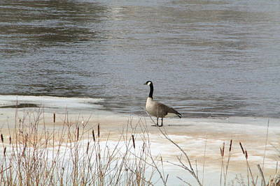 Karen Jordan Wall Art - Photograph - Goose On The Ice by Karen Jordan