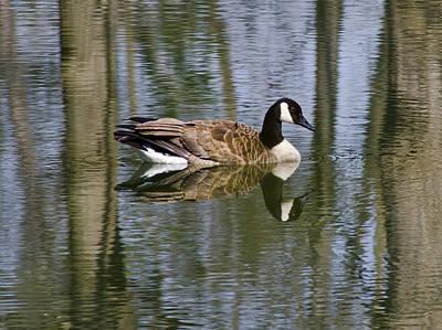 Ducks Photograph - Goose Reflections by LeeAnn McLaneGoetz McLaneGoetzStudioLLCcom