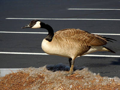 Photograph - Goose With Nest In Parking Lot by Renee Trenholm