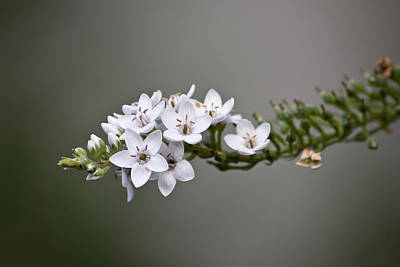 Gooseneck Loosestrife Photograph - Gooseneck Loosestrife II by Michael Friedman