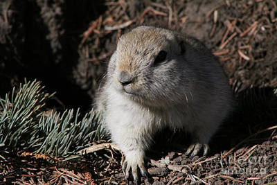 Photograph - Gopher by Alyce Taylor