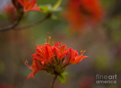 Rhodies Photograph - Gorgeous Cluster by Mike Reid