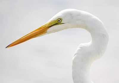 Gorgeous Great White Egret Art Print by Paulette Thomas
