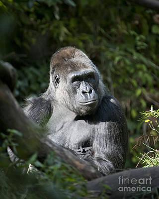 Photograph - Gorilla by Chris Dutton