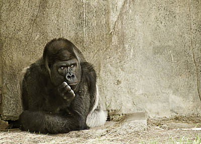 Photograph - Gorilla In Thought by Melany Sarafis