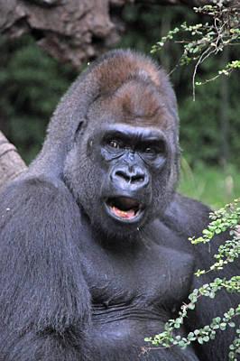 Gorilla Art Print by Mike Martin