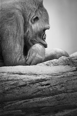 Thought Wild Photograph - Gorilla Resting by Darren Greenwood