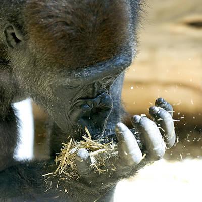 Photograph - Gorilla by Sandra Sigfusson