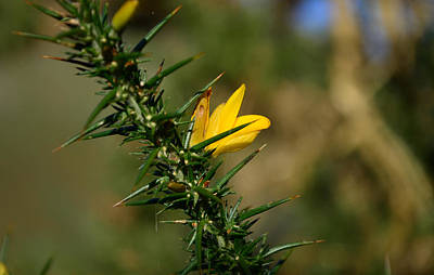 Photograph - Gorse Flower by Barbara Walsh