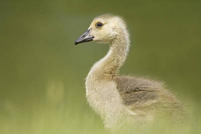 Gosling Art Print by Lisa Franceski Wildlife Photography