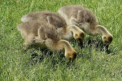 Photograph - Goslings 1 by Joe Faherty