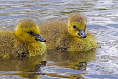 Photograph - Goslings by David Freuthal