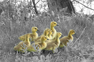 Photograph - Goslings In Select Color by Mark J Seefeldt