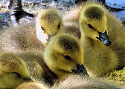Photograph - Goslings by Janice Drew