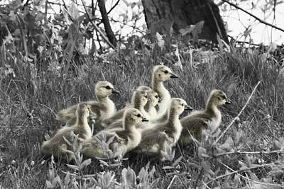Photograph - Goslings Muted by Mark J Seefeldt